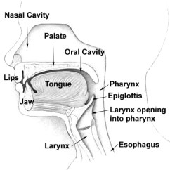 Diagram Of The Nose And Its Functions Whirlpool Cabrio Washer Wiring Nasal Cavity Wikipedia