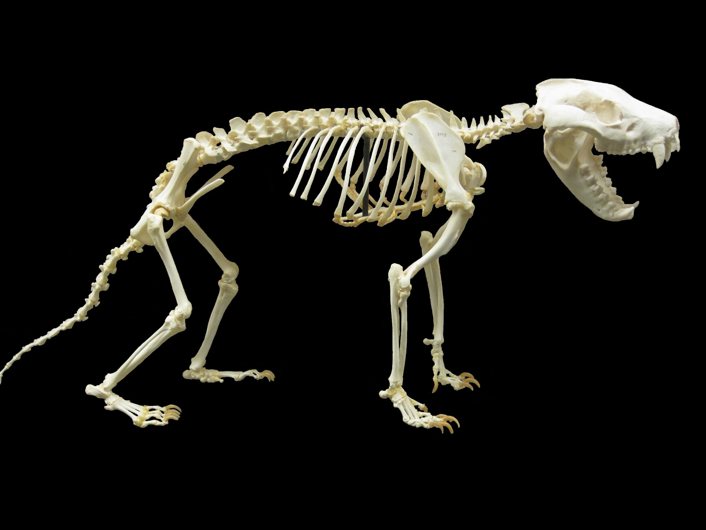 opossum skeleton diagram 3 circle venn graphic organizer file tasmanian devil jpg wikimedia commons