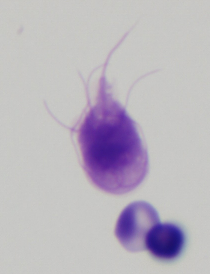 Giardia lamblia cytology closeup Dogs That Look Like Pitbulls