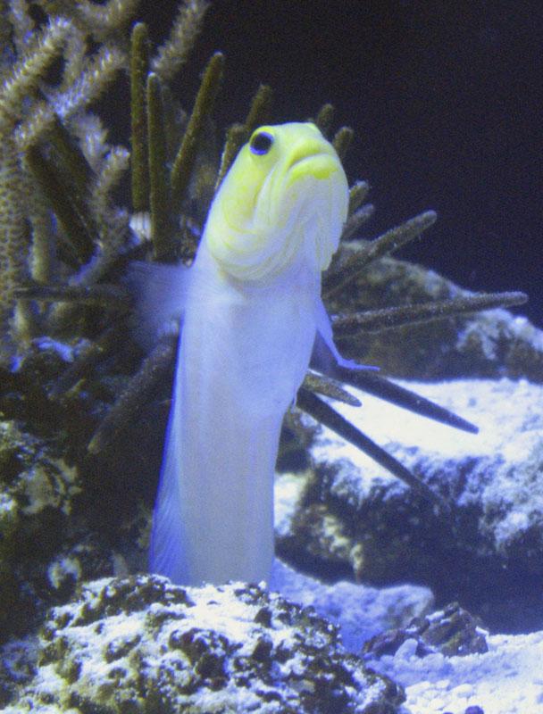 Yellowhead jawfish  Wikipedia