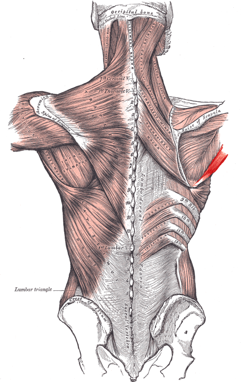 small resolution of teres major muscle