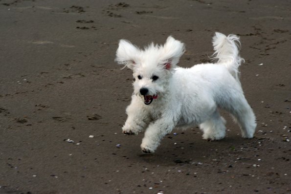 https://i0.wp.com/upload.wikimedia.org/wikipedia/commons/d/d6/Bichon_running.jpg?w=604&ssl=1