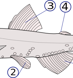 ray fish diagram label [ 2154 x 898 Pixel ]