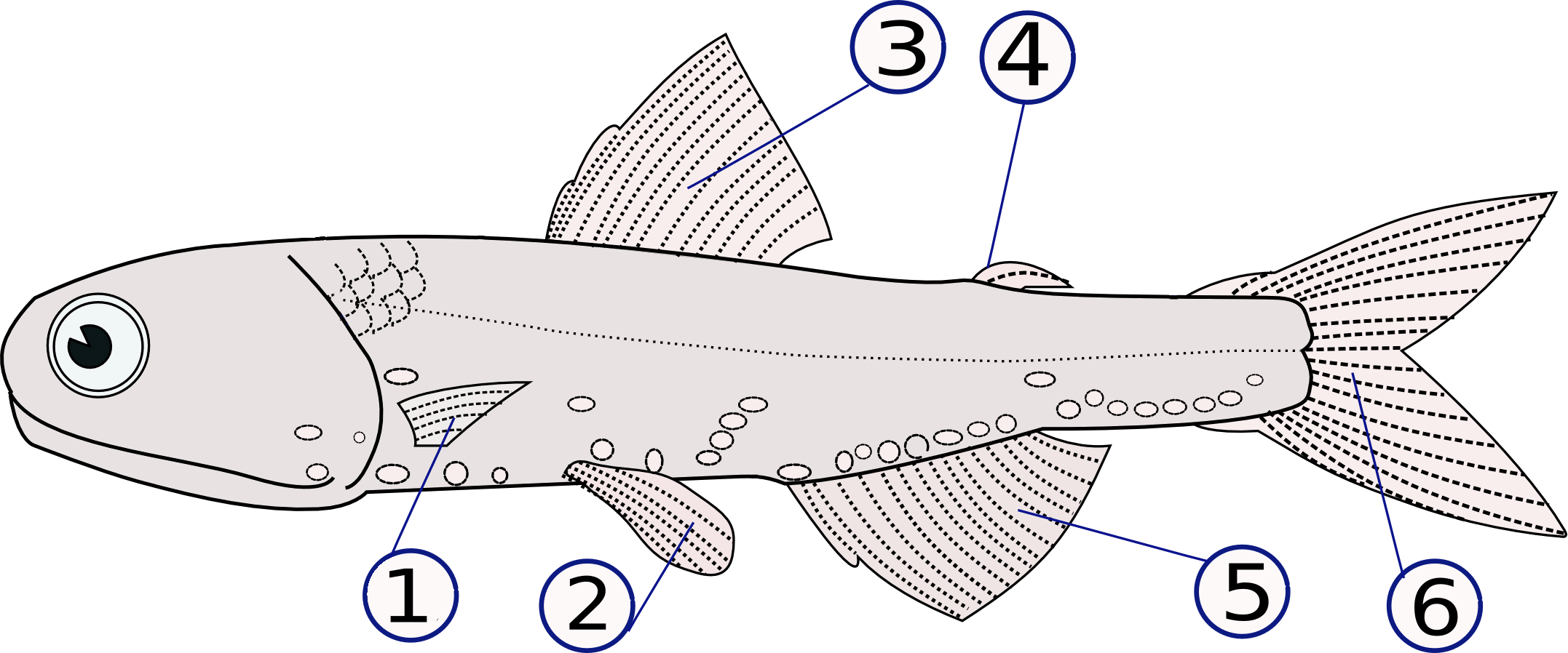 labelled diagram of a tilapia fish pioneer super tuner iii d wiring fin wikipedia