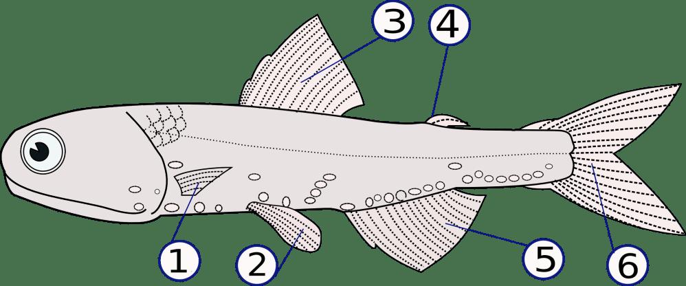 medium resolution of ray fish diagram label