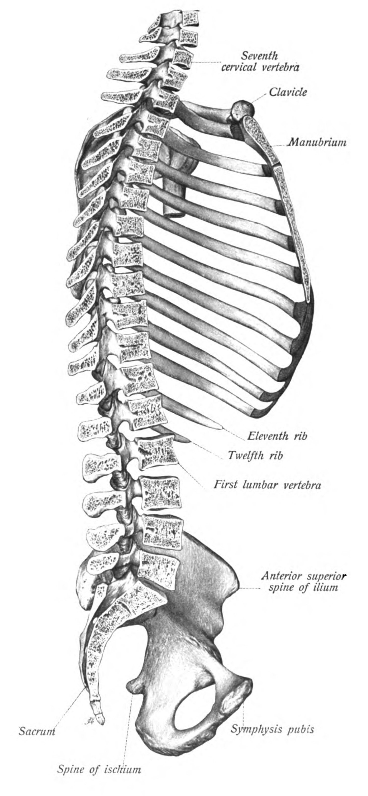 axial skeleton skull diagram human brain and functions spinal injury going pro rebecca frech