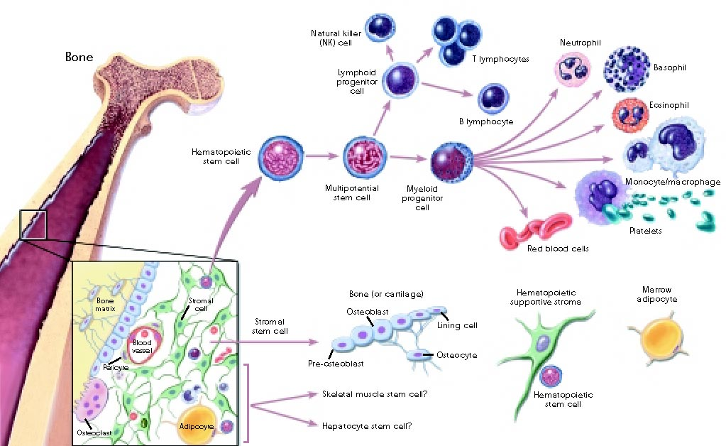 Cell differentiation - Simple English Wikipedia, the free encyclopedia