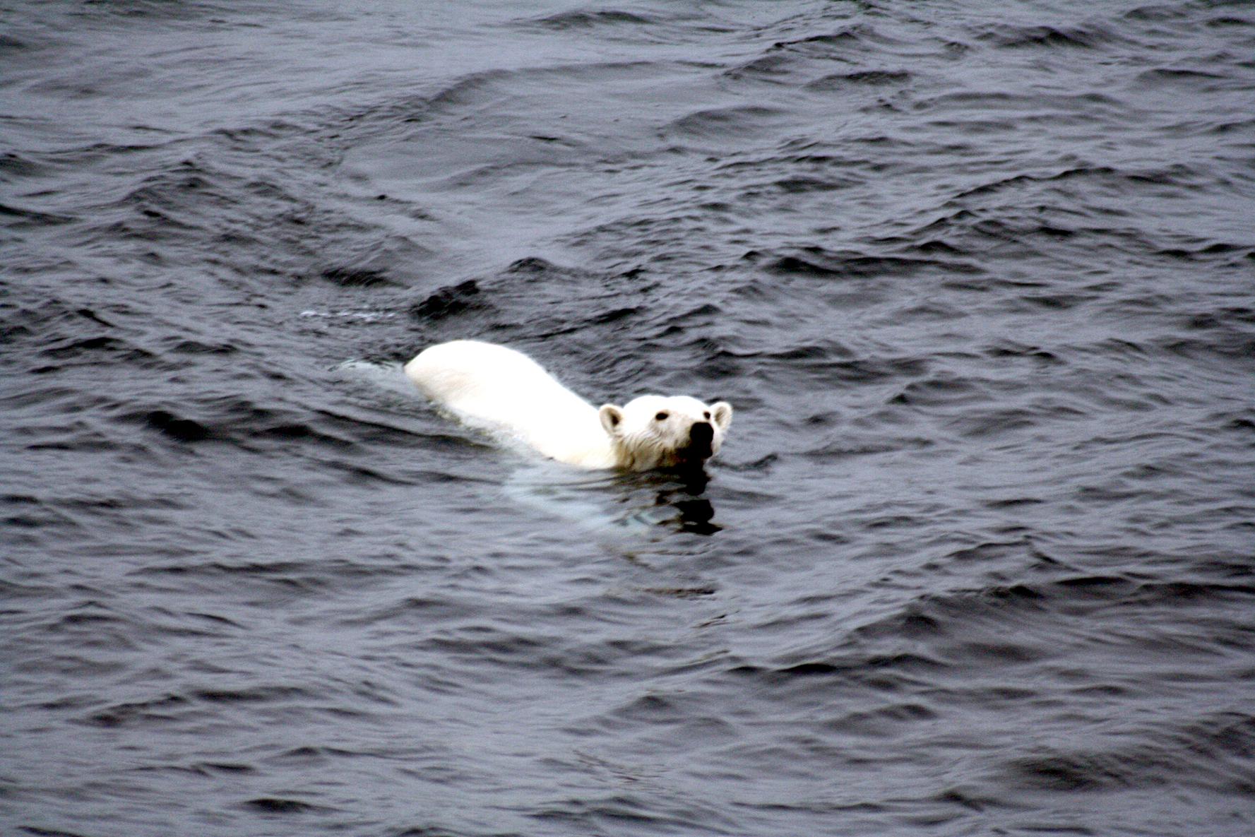 polar bear photo from M. Zinkova