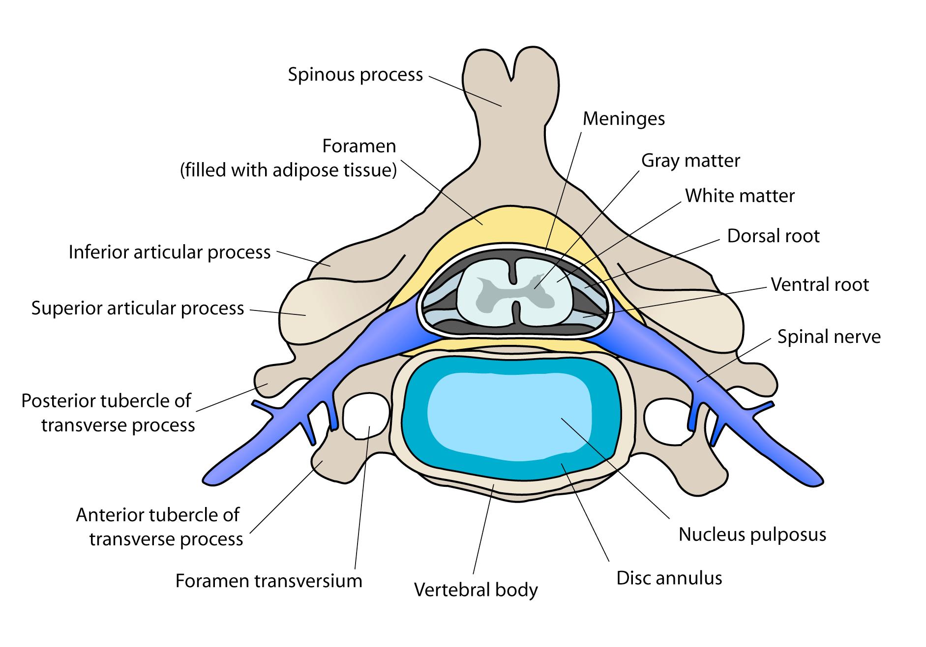 cervical vertebrae diagram 1998 yamaha golf cart wiring file vertebra english png wikimedia commons