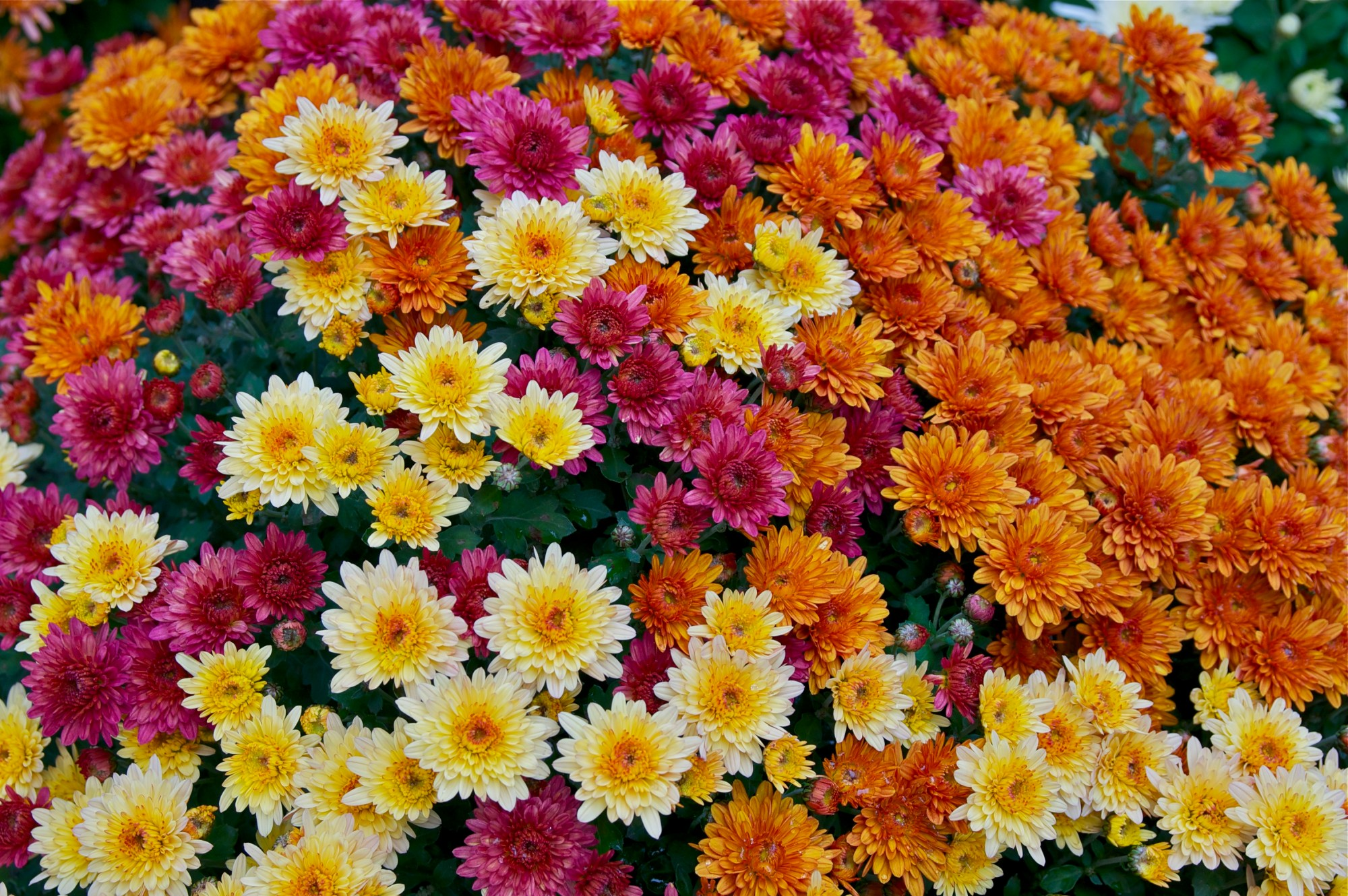 hight resolution of different colors of chrysanthemum x morifolium