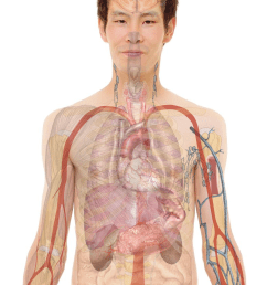 male with organs png [ 1258 x 1800 Pixel ]