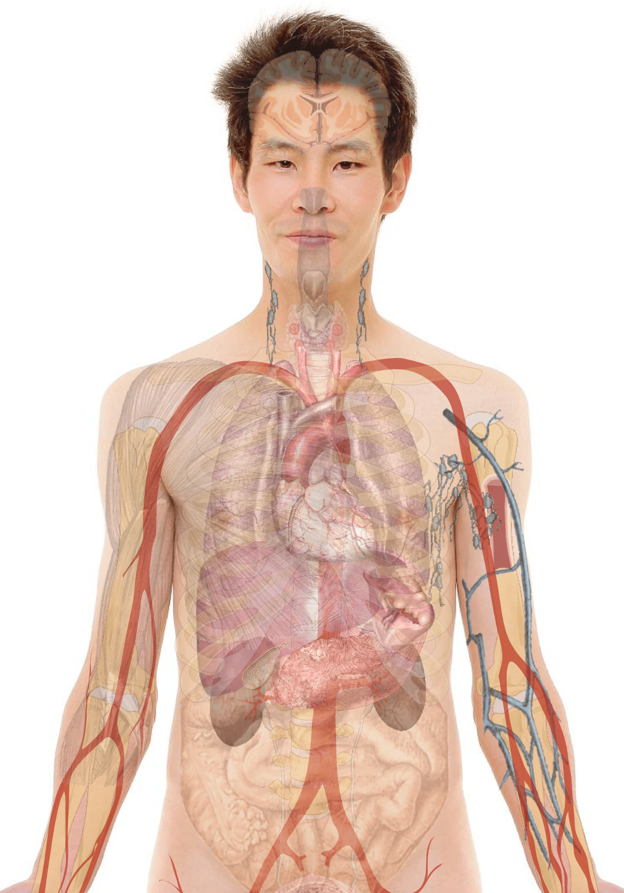 hight resolution of male with organs png