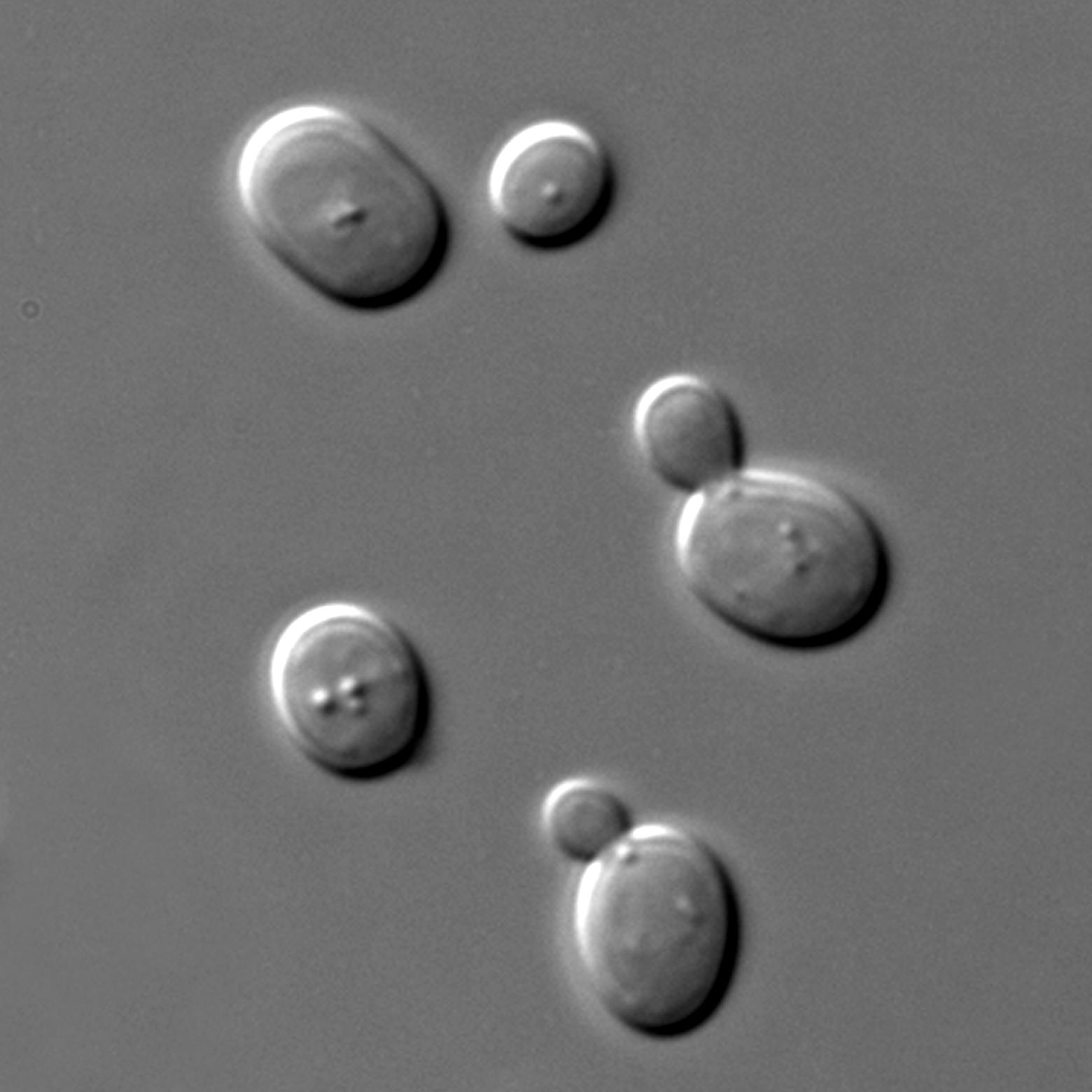 MicroBrasserie et Cie Belfort - Image d'illustration Wikipedia levures au microscope - brassage de bière