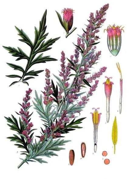 File:Artemisia vulgaris - Köhler–s Medizinal-Pflanzen-016.jpg