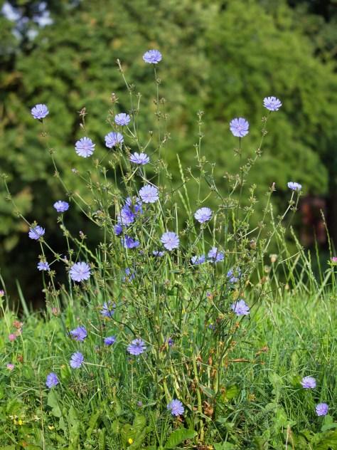 File:Cichorium Intybus.jpg - Wikimedia Commons