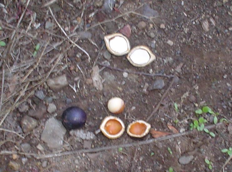 File:Gevuina avellana-fruto (avellana).JPG