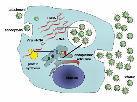 microRNA molecule in honeysuckle disrupts flu cycle