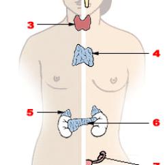 Endocrine System Diagram Cat5e Wiring Uk Gland Wikipedia Illu Png