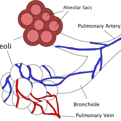 Lung Alveoli Diagram Wire Light Switch Bronchiole - Wikipedia