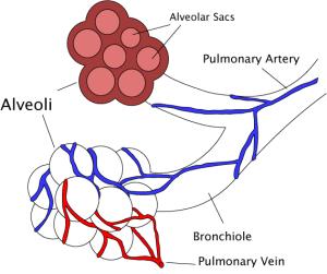 Bronchiole  Wikipedia