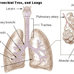 Label The Following Diagram Of Respiratory System Kohler Wiring Human Physiology Wikibooks Open Books For Lungs