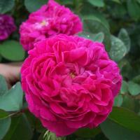 Antique Rose---Damask