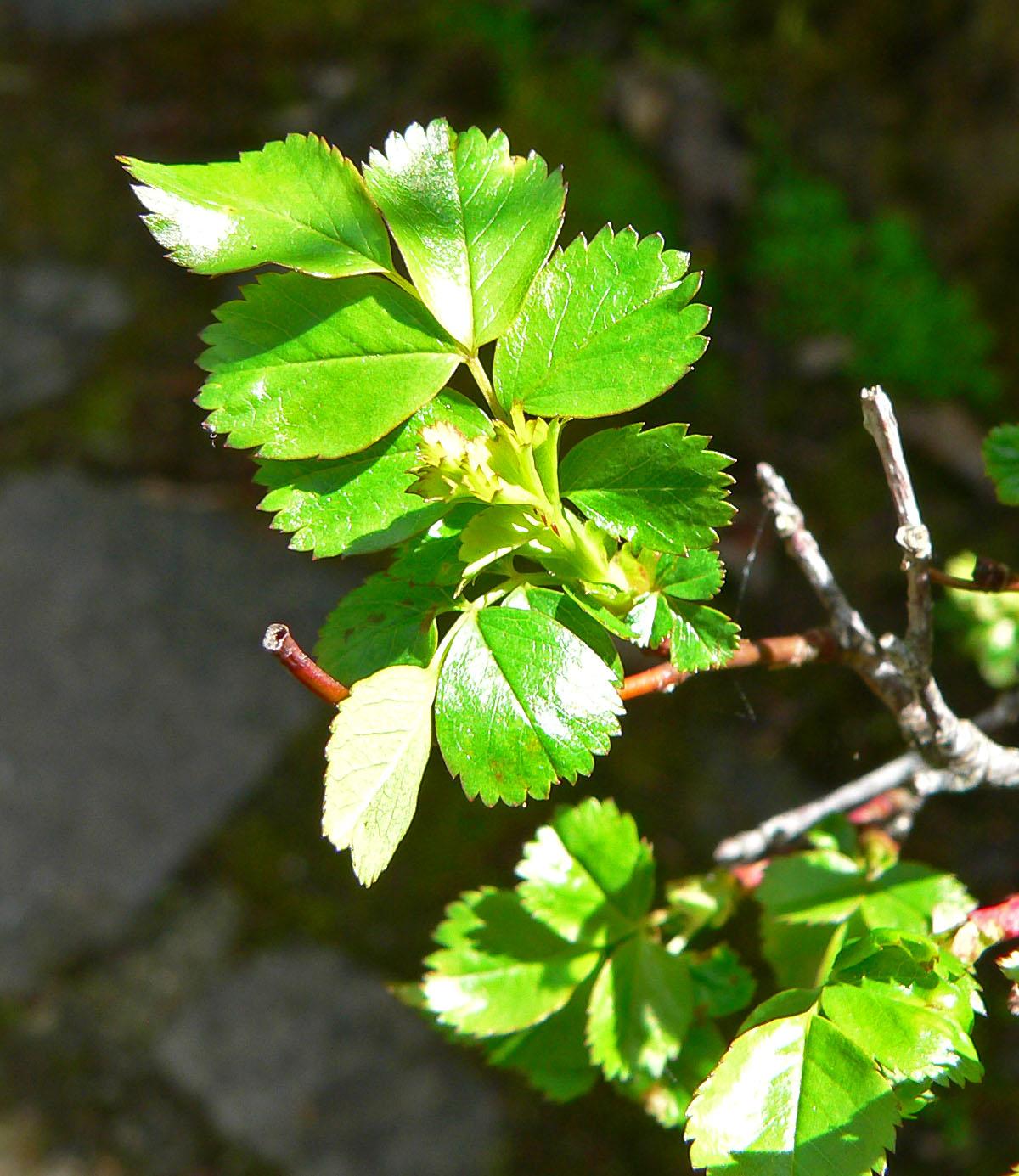 Rosa pisocarpa  Wikipedia