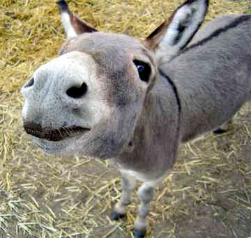"""Long-Eared""?  Get it?  Donkeys have long ears.  It's like humor, but without the funny!"