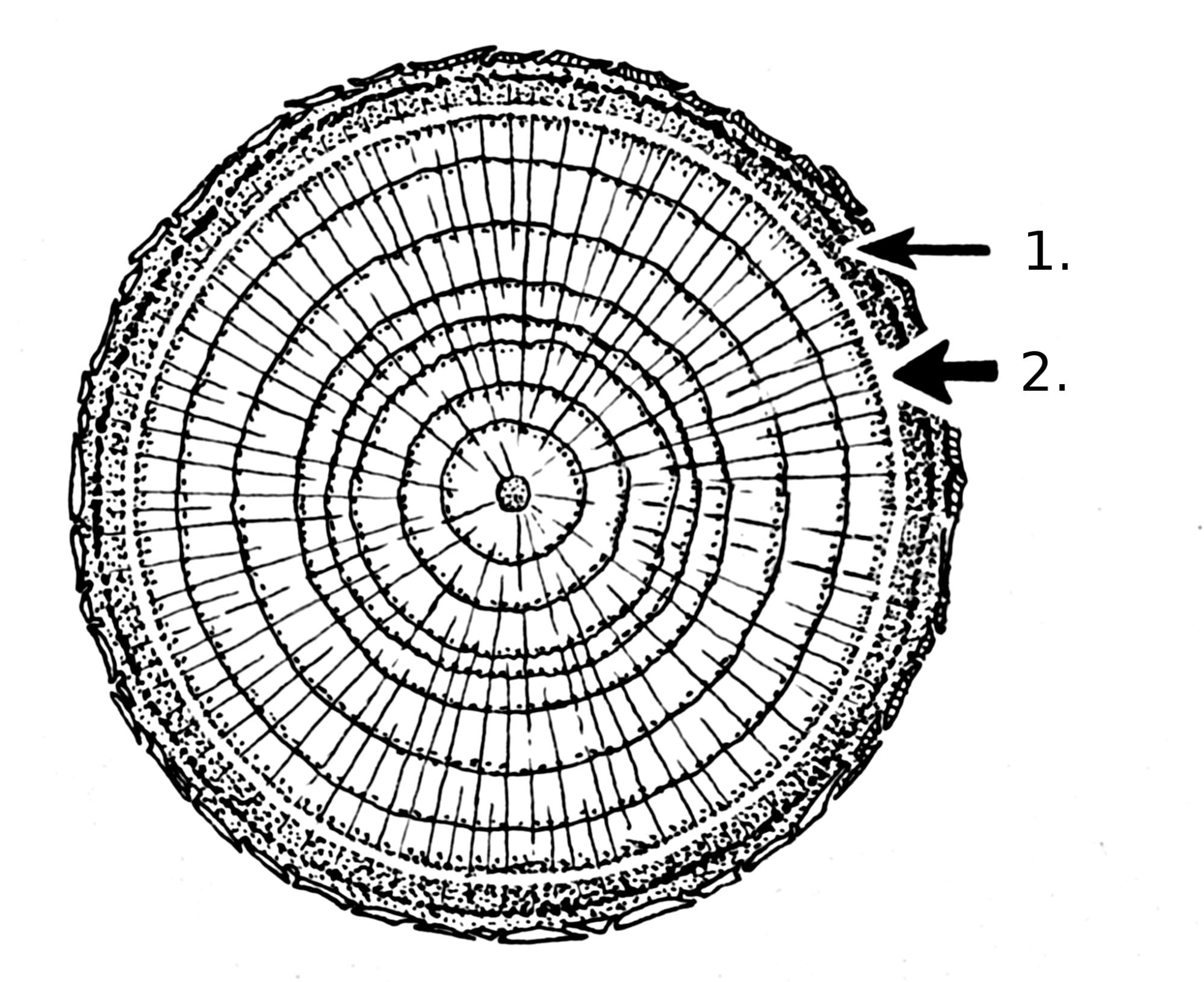 hight resolution of tree stem diagram