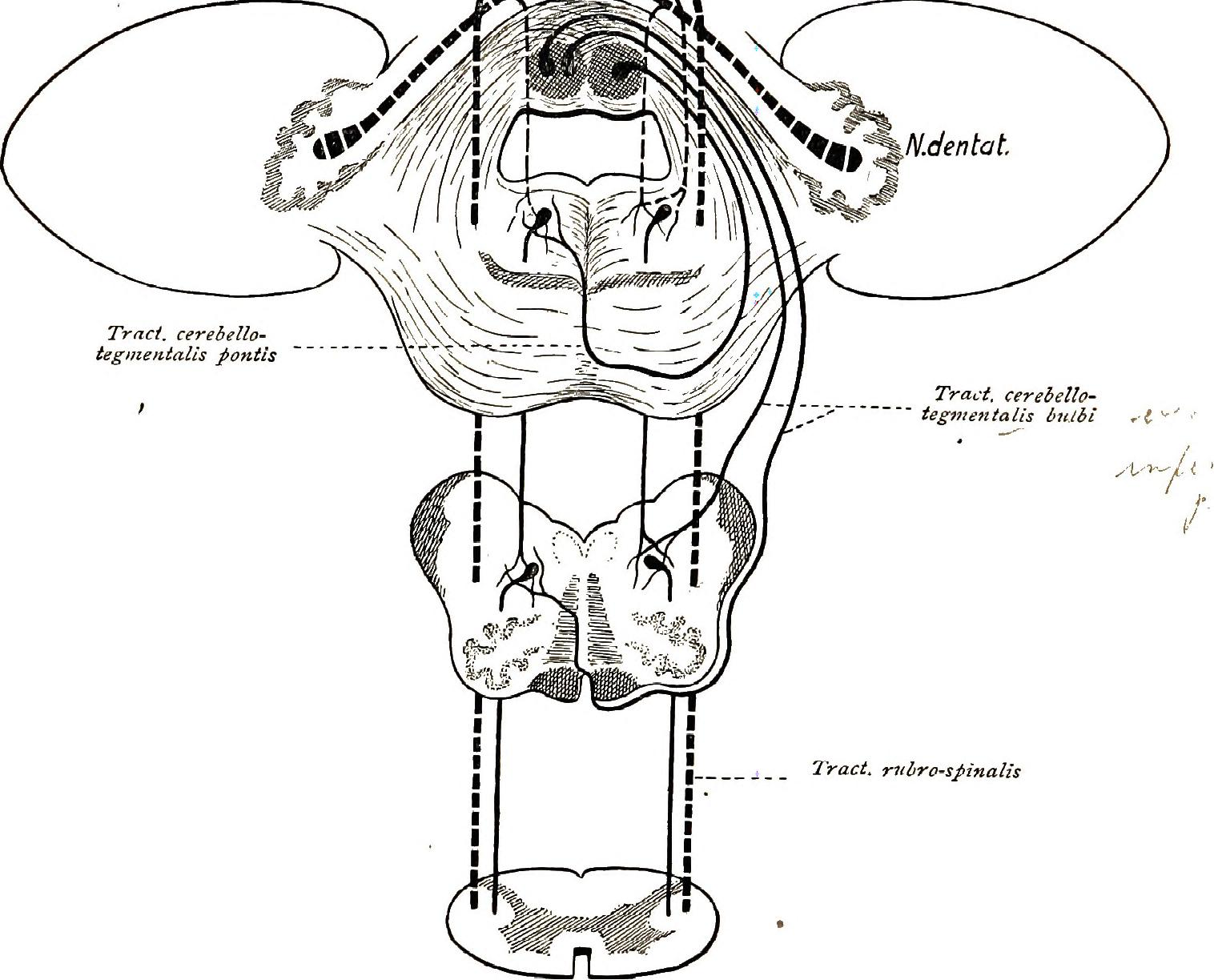 File:Brain and spinal cord; a manual for the study of the
