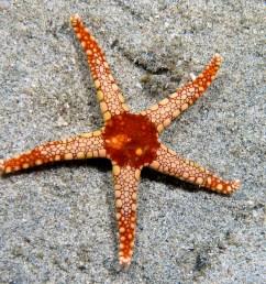 sea star aboral diagram [ 2542 x 1909 Pixel ]