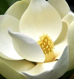 magnolium tree diagram [ 4928 x 3264 Pixel ]