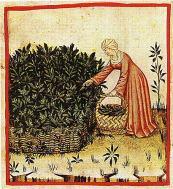 recolte de la sauge au moyen âge