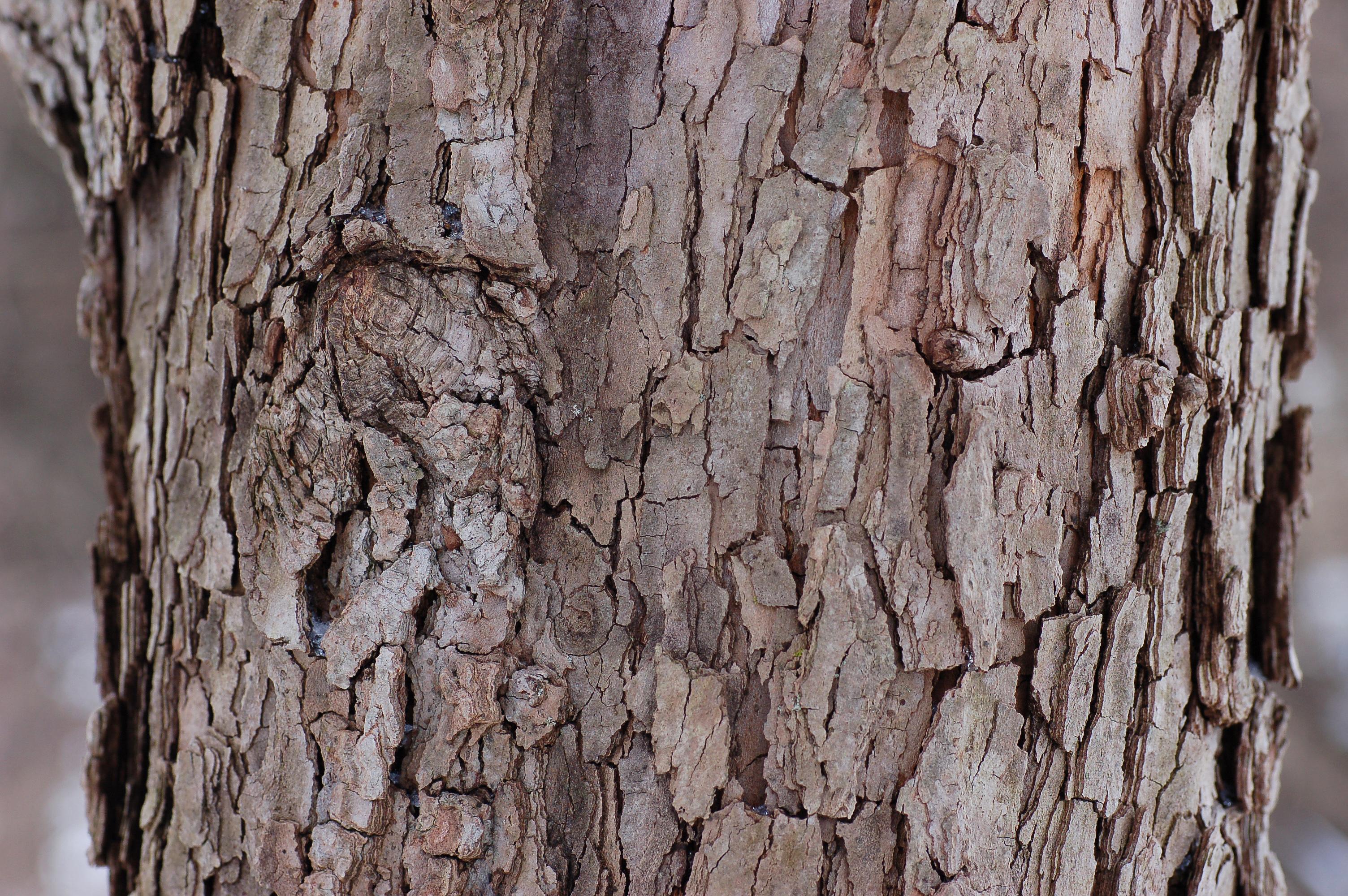 File:Flowering Dogwood Cornus florida 'First Lady' Bark Detail 3008px.jpg - Wikimedia Commons