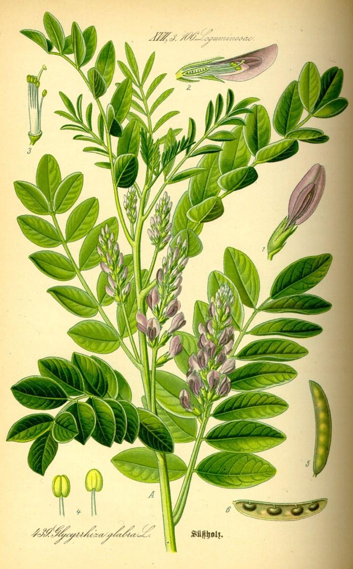 Archivo:Illustration Glycyrrhiza glabra0.jpg - Wikipedia, la ...