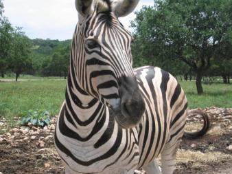 Jerapah (hewan herbivora) - Wikipedia