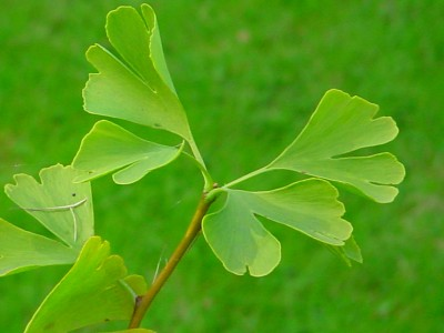"//upload.wikimedia.org/wikipedia/commons/d/de/Gingko-Blaetter.jpg"" porque contiene errores."