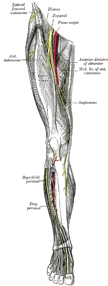 lower leg nerve diagram 2009 ford ranger wiring herman wallace postpartum neuropathies of the extremity
