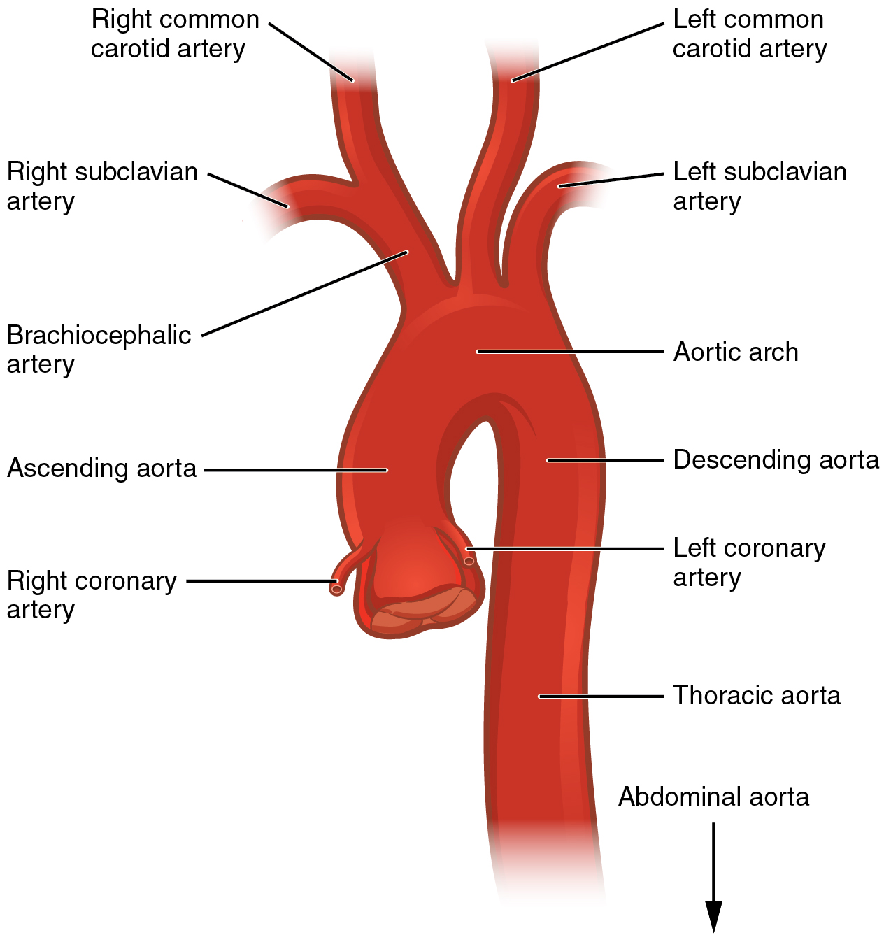 labeled diagram of abdominal vasculature 2002 ford escape engine file 2121 aorta jpg wikimedia commons