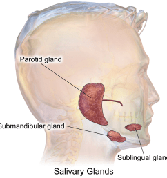simple diagram of the salivary gland [ 1500 x 1500 Pixel ]