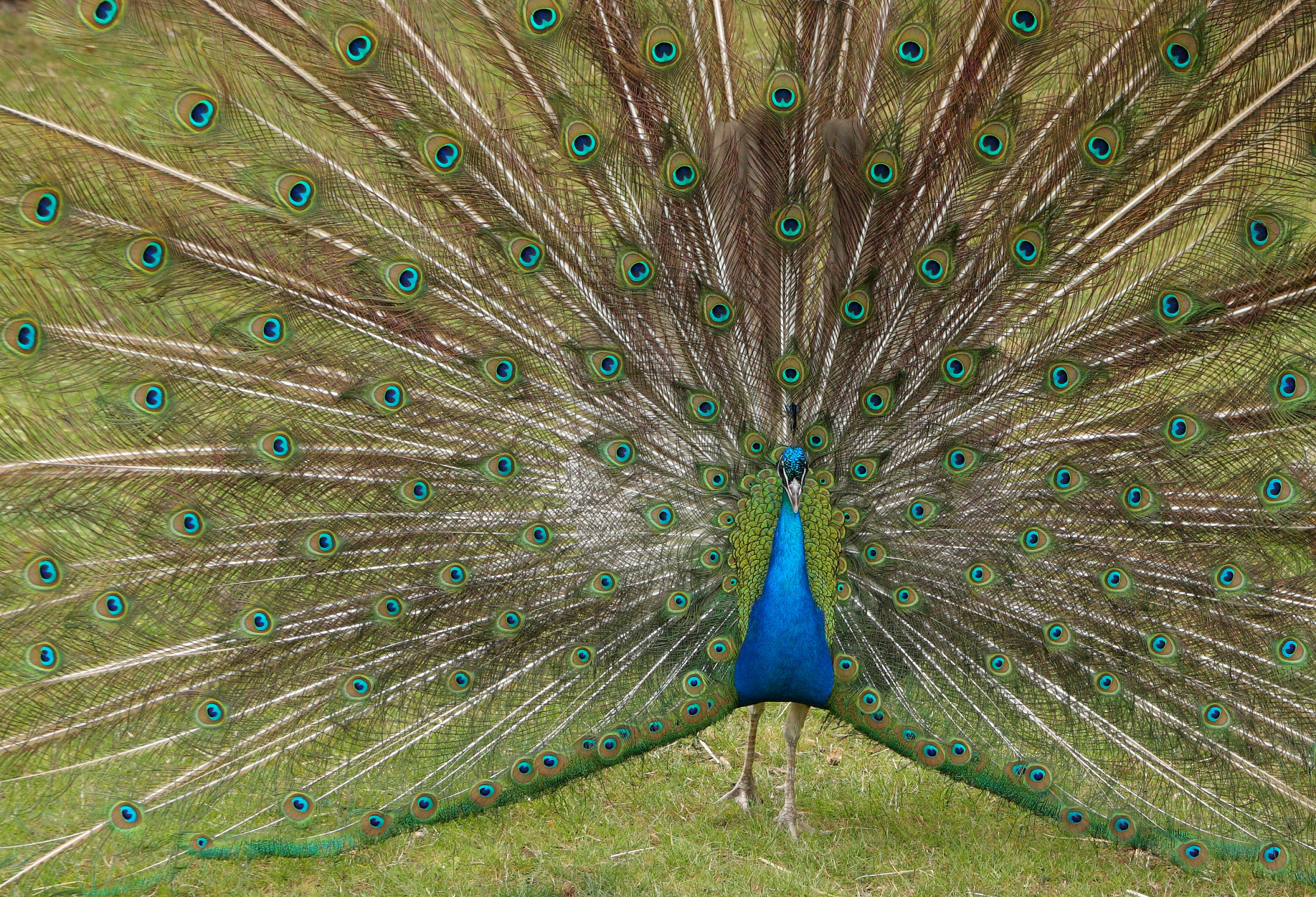 indian peafowl wikipedia