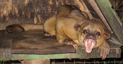 Yawning kinkajou-2
