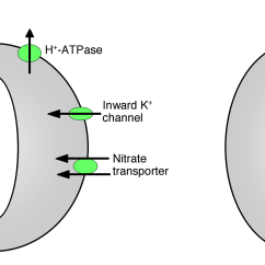 Structure Of Stomata With Diagram Easy Series Circuit Venn The Gallery For Gt Guard Cells
