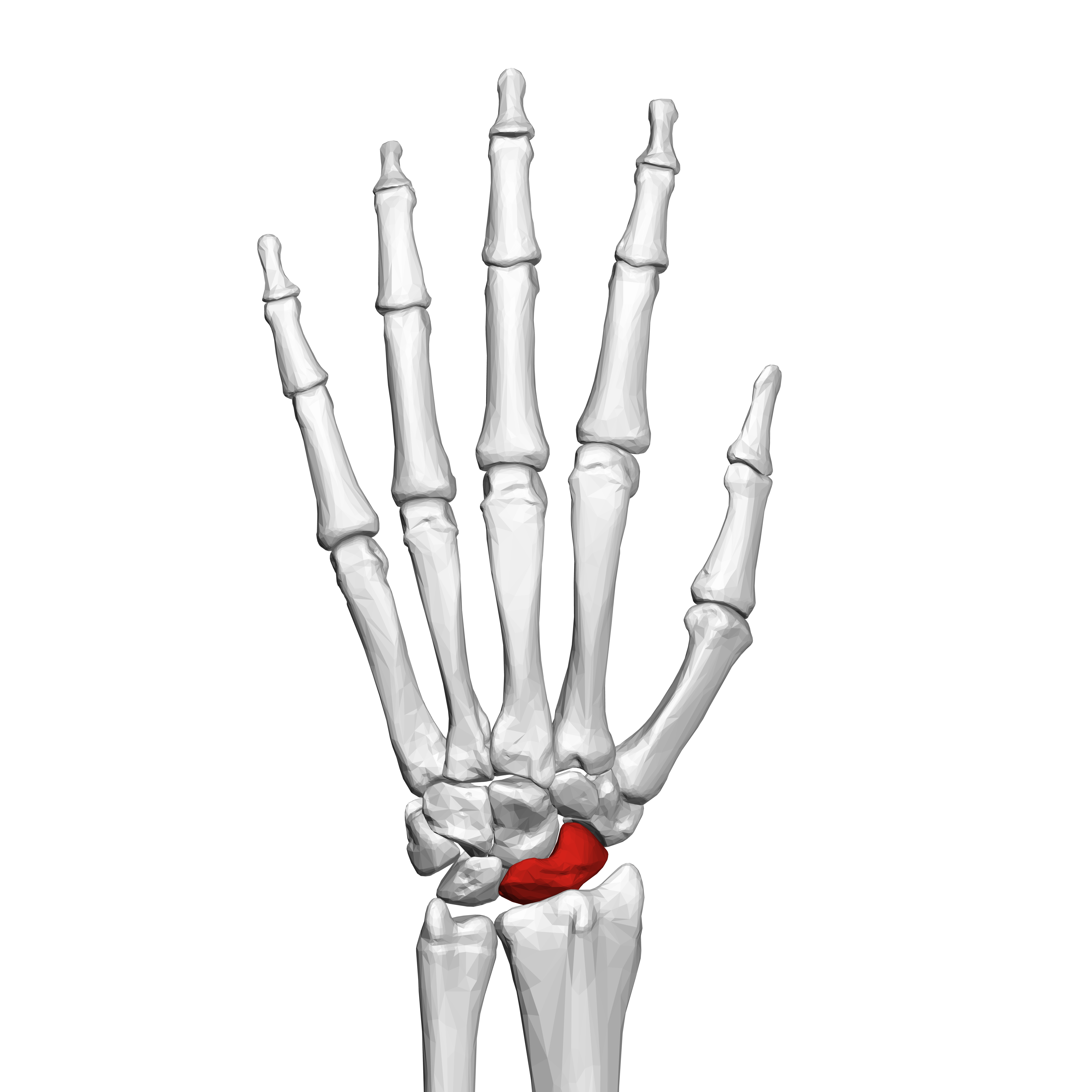 wrist and hand unlabeled diagram 6 5 onan generator wiring file scaphoid bone left 02 dorsal view png