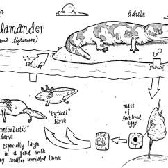 Lizard Life Cycle Diagram Sony Cdx Gt360mp Wiring Salamander Wallpapers Gallery