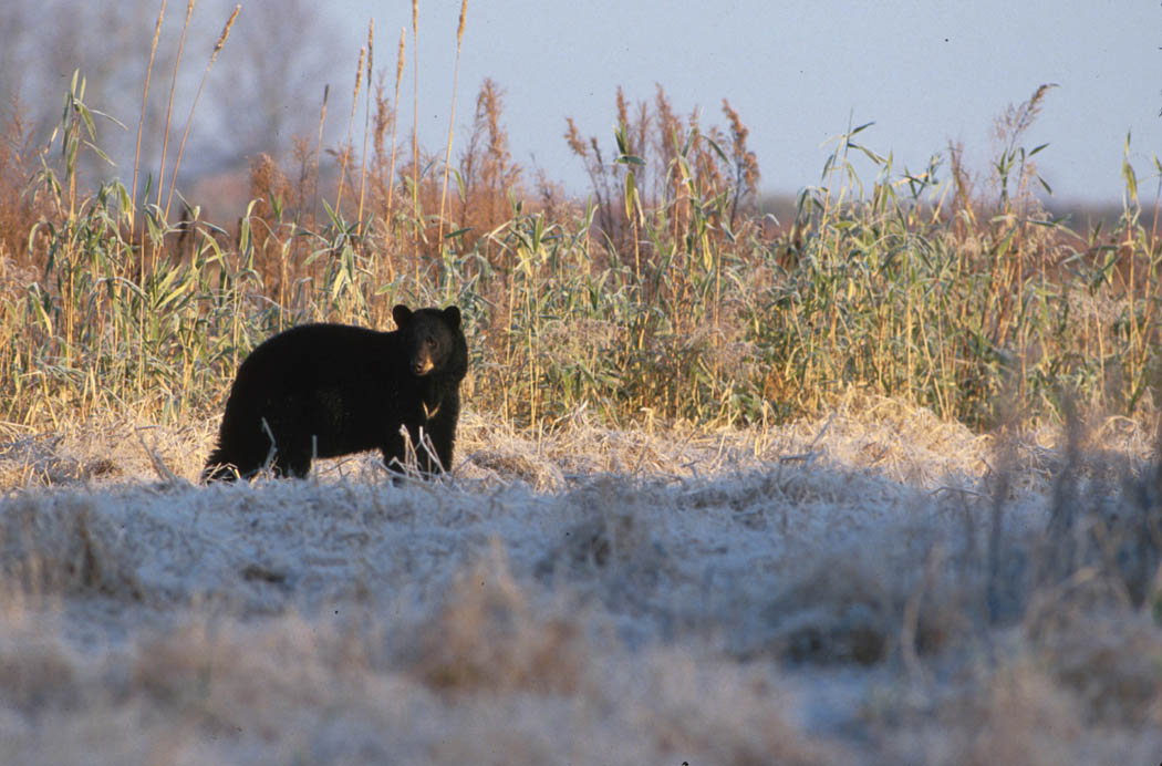 black bear ohio history