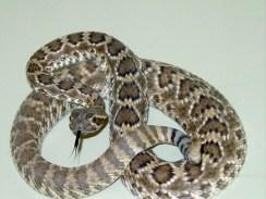 Mojave desert rattlesnake