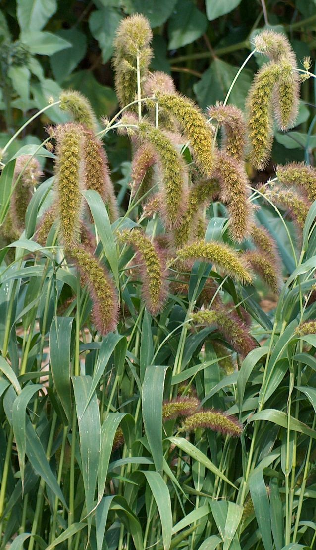 foxtail millet - Wiktionary