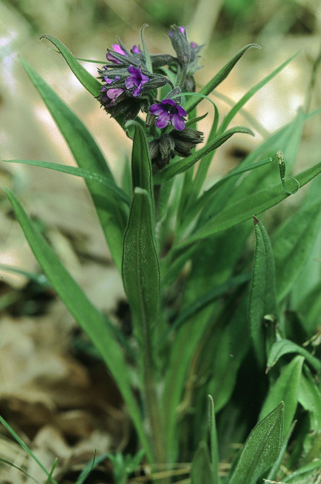Pulmonaria angustifolia  Wikipedia