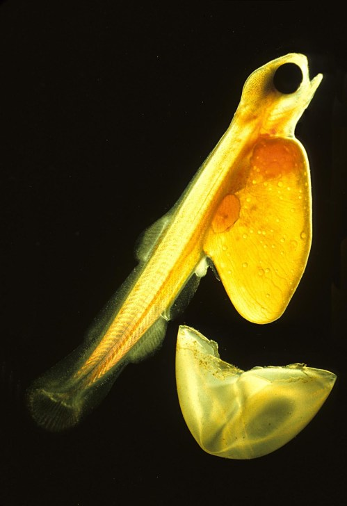 small resolution of salmon fry hatching the larva has grown around the remains of the yolk and the remains of the soft transparent egg are discarded